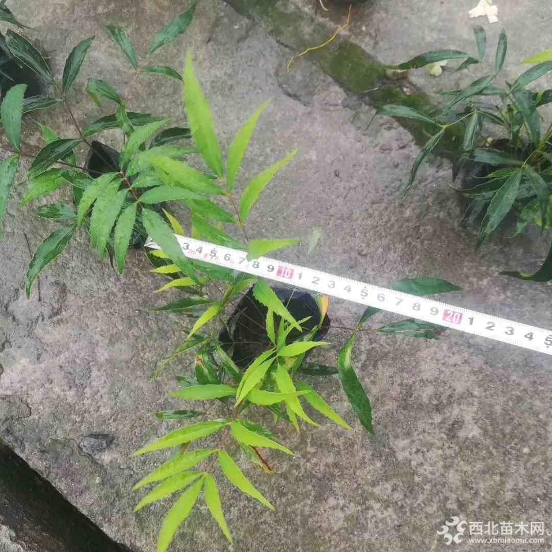 福建漳州十大功劳高35公分价格1元