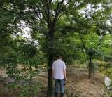 18公分红榉榉树