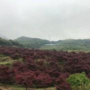 三季红红枫常年红红枫