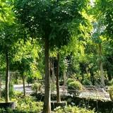 15公分腊肠树价格1800元