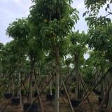 12公分腊肠树价格多少钱
