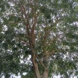 11米皂角树