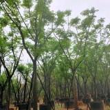 黄山栾树15公分价格3500元