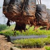 30公分木荷杯苗批发 江西木荷种植基地