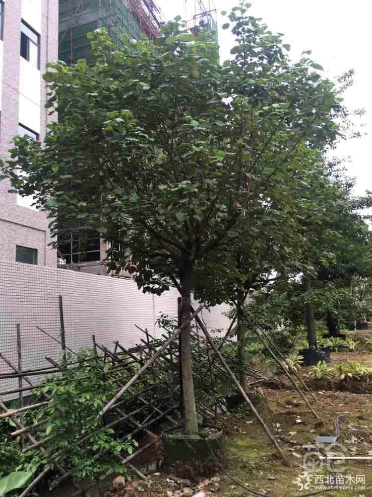 黄槿弓背树12公分价格700元