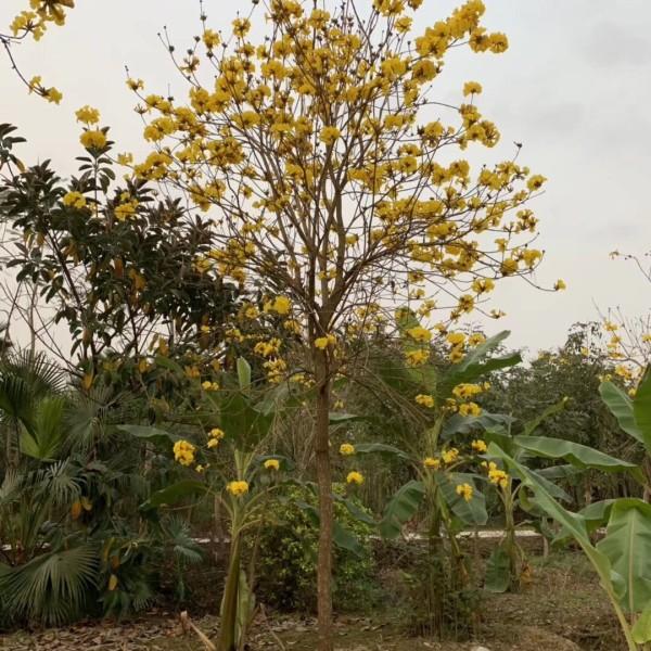 黃花風鈴木|袋苗大量批發