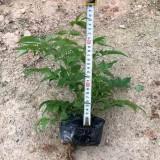 高25公分紫云藤袋苗价格1.1元
