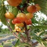 黄蜜樱桃苗出售