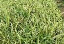 高20公分金边麦冬袋苗价格1.1元