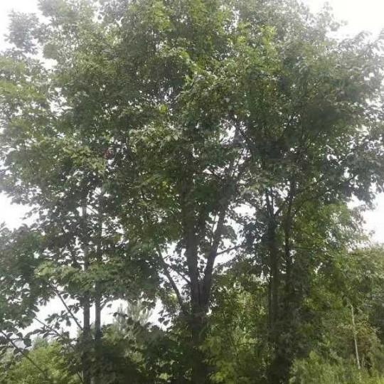 20公分椴樹