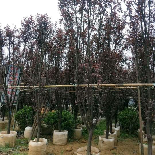 高4米紫叶李樱桃李价格500元