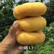 中潘11桃苗批发