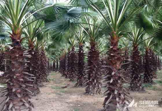 高度2-12米華棕(老人葵)基地批發價格