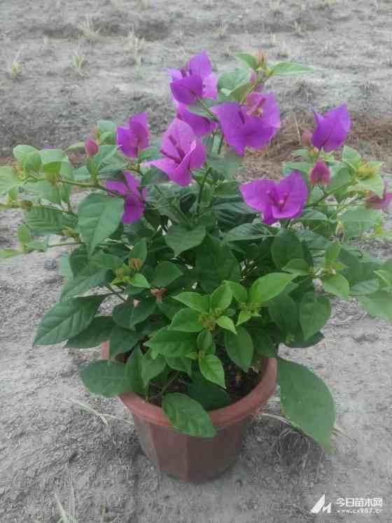 高度20-300公分紫花三角梅基地批發價格
