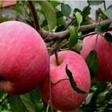 魯麗蘋果苗