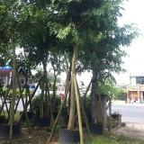 腊肠树  精品腊肠树 批发供应