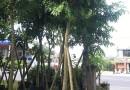 12公分秋枫