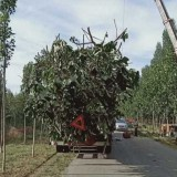 5公分泡桐树价格  泡桐产地批发报价