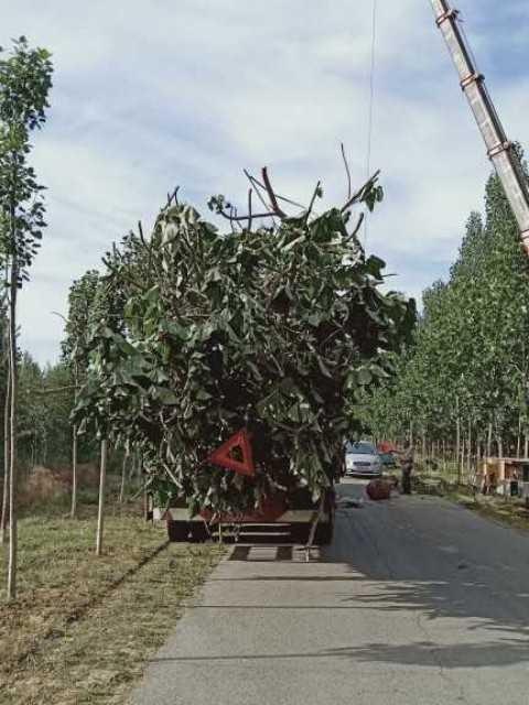 5公分泡桐樹價格  泡桐產地批發報價
