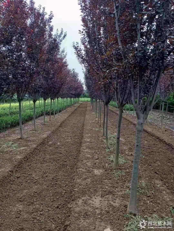 紫叶李高度1.5-5米报价 无中间商