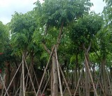 腊肠树(阿孛勒)价格 福建腊肠树(阿孛勒)多少钱一棵