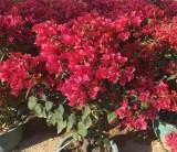 红花三角梅造价信息 福建地区常见的红花三角梅品种哪里有