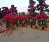 50公分高红花三角梅价格 福建地区常见的红花三角梅品种哪里有