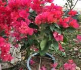 40公分高红花三角梅价格 红花三角梅种植注意事项