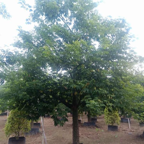 20公分美人树 福建美人树多少钱一棵