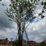 叢生樸樹價格 福建叢生樸樹基地直銷