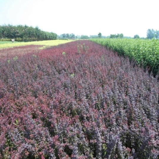 沭陽紫葉小檗基地 紫葉小檗多少錢一棵