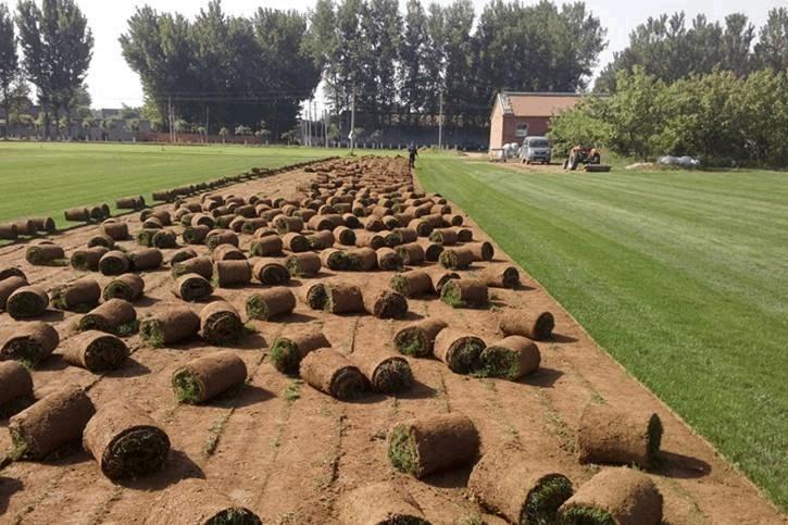 常年供應冷季型早熟禾草坪,早熟禾高羊矛混播草坪