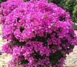 30公分高紫花三角梅价格 福建紫花三角梅基地在哪