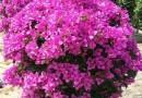 12-15公分洋紫荆