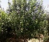 8公分八棱海棠树 基地直销