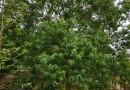 福建雷竹5米高