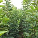 地径1公分柿子树苗价格  山东柿子树苗基地