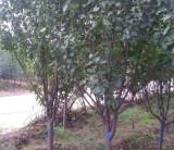 四川八棱海棠树