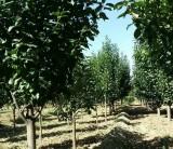 地径3公分八棱海棠树价格