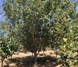 哪里买八棱海棠树