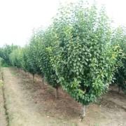 10公分八棱海棠树价格