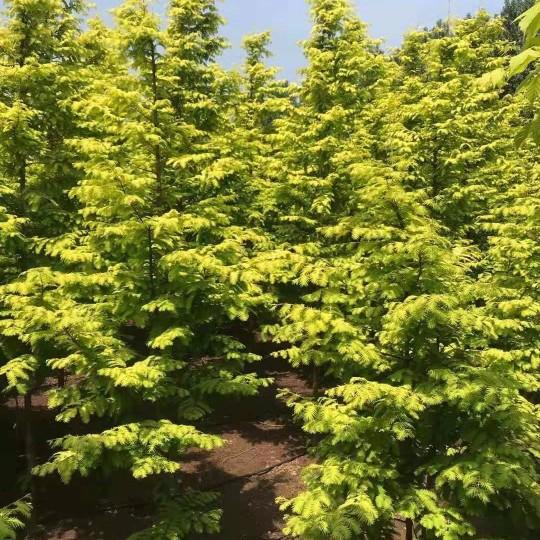米徑2-12公分金葉水杉大量供應 金葉水杉價格