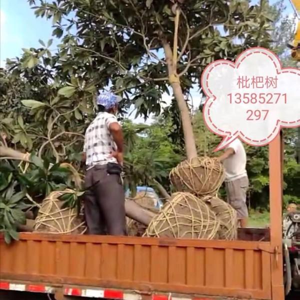 地径6-12公分分枝点1.2-1.5米枇杷树