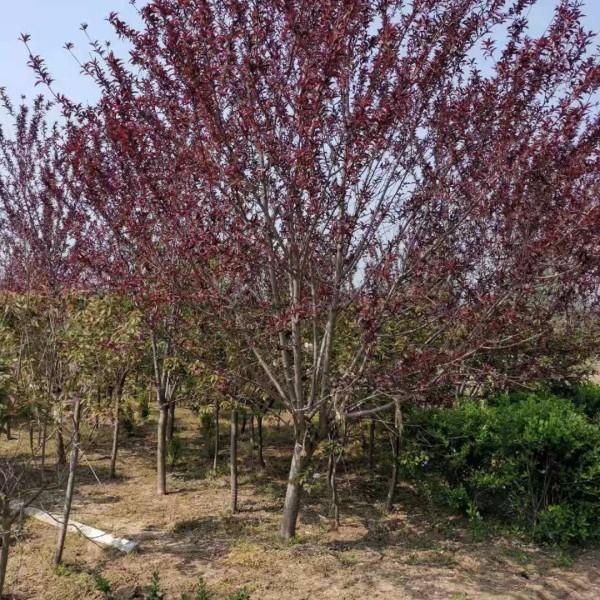 地径4-14公分红叶碧桃 红叶碧桃基地