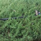 枝长30-50公分爬地柏价格多少 江苏爬地柏基地供应