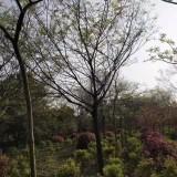 胸径3-25公分朴树及丛生朴树 基地直销