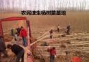 高1.5-4.5米无絮杨树苗价格 基地直销