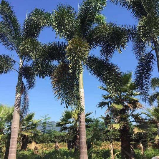 7米高海南狐尾椰子批發價 海南狐尾椰子基地直銷