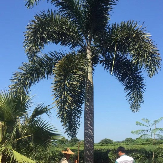 7米高狐尾椰子批發價 哪里有農戶直銷的狐尾椰子基地