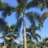 9米高广州狐尾椰子基地批发价 狐尾椰子基地在哪